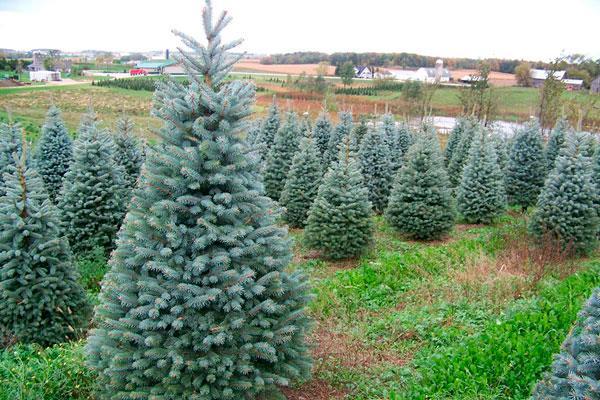 Últimos días para entregar los árboles navideños
