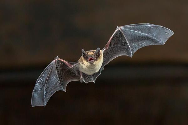 Boadilla recurre a los murciélagos para luchar contra los mosquitos