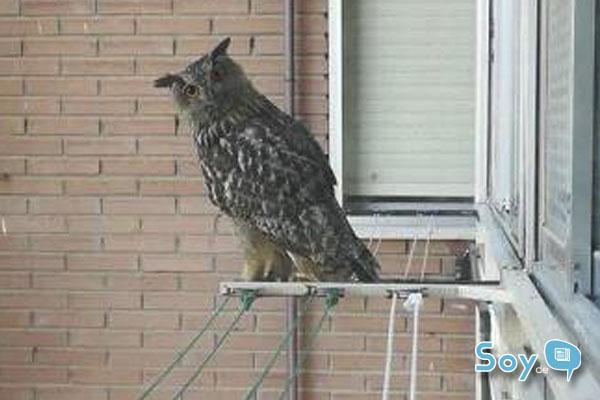 Unos vecinos nos alertan de la presencia de un Buho en la zona