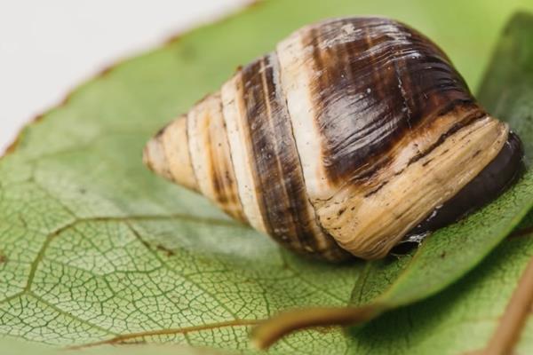 La especie era más conocida como caracol de árboles, nativa de la isla Oahu
