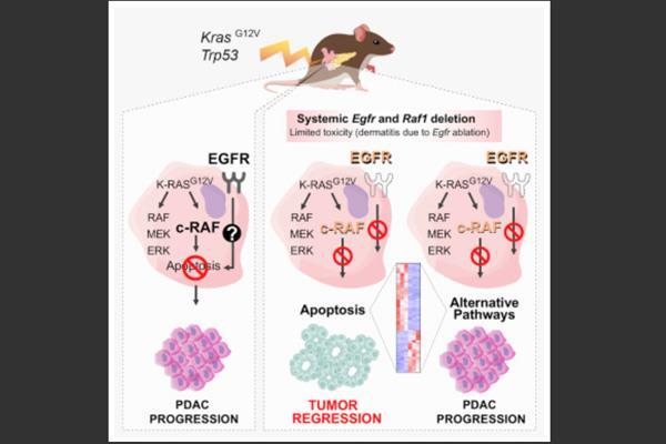 Investigadores del CNIO consiguen curar un agresivo cáncer de páncreas en ratones