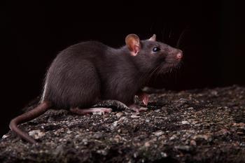 Esta especie de roedor proviene de Asia y es un vector potencial de patógenos