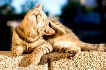"El origen de la palabra ""Mascota"", viene del francés ""Mascotte"", animal o cosa que sirve de talismán, que trae buena suerte"