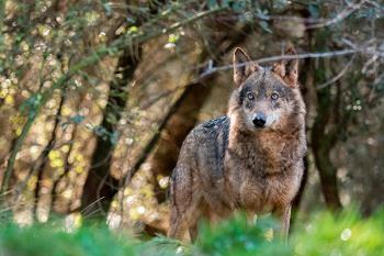 ¿Cuál es la situación del lobo ibérico en la Comunidad de Madrid?