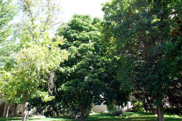 La redacción Ordenanza de Fomento y Protección del Arbolado pretende salvaguardar sus árboles singulares