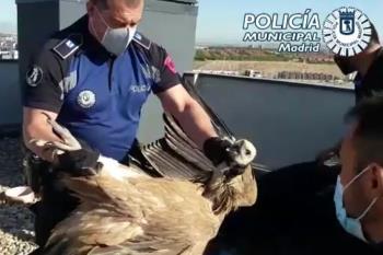 Rescate del buitre caído en una azotea en Vicálvaro