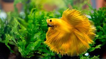 ¿Cuál es la mejor forma de mantener a uno de los peces más bonitos y coloridos que existen?