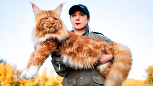 Hasta 11 kilogramos y una longitud de 120 cm puede llegar a alcanzar un macho de este gato doméstico