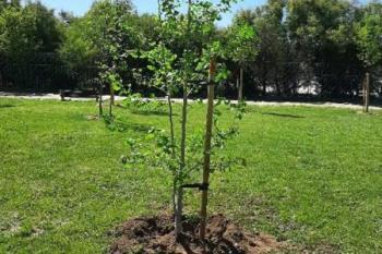 El pasado lunes se llevó a cabo la plantación de 10 nuevos árboles en distintos puntos de la localidad