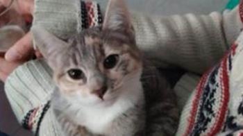 Se busca gatita perdida en Alcorcón desde el 6 de junio