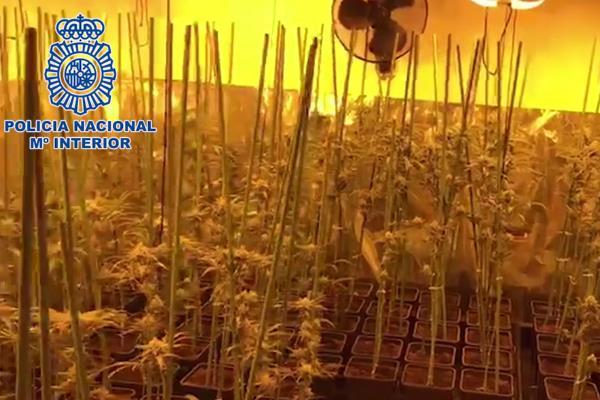 Incautadas más de 12.000 plantas de marihuana