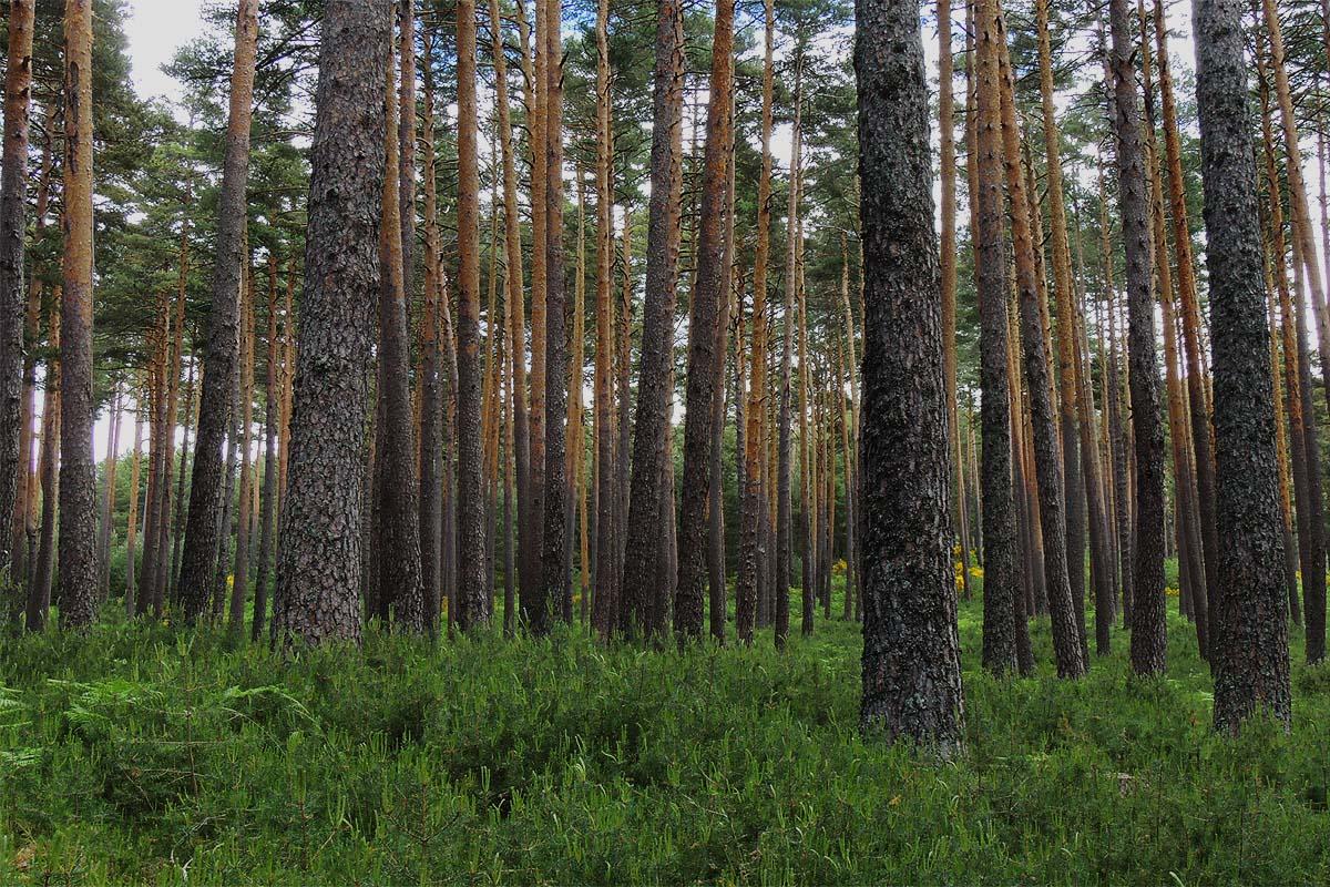 Se analizan alrededor de 10.500 parcelas permanentes con más de 236.000 árboles recogidos a lo largo de tres censos del Inventario Forestal Nacional (IFN)