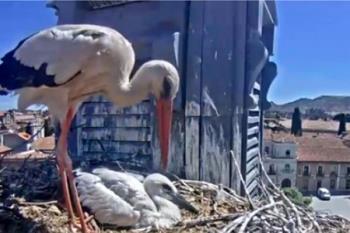 SEO BirdLife, en colaboración con el Ayuntamiento de Alcalá, pone en marcha la webcam que retransmite en directo la vida en el nido de cigüeña blanca