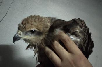 Un vecino dedicado a la cetrería se ocupó del ave hasta la llegada de la protectora