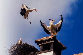 Las cigüeñas de Alcalá recobran protagonismo e impactan al mundo entero