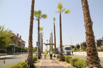 Se han plantado 33 palmeras para sustituir a los tilos