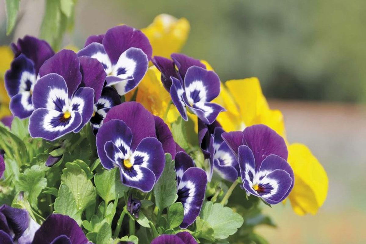 El Ayuntamiento ha dado comienzo a la plantación de flores de temporada en avenidas, calles y rotondas