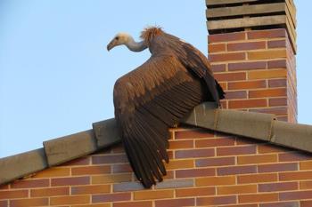 El animal vagaba desorientado por los tejados de varias viviendas