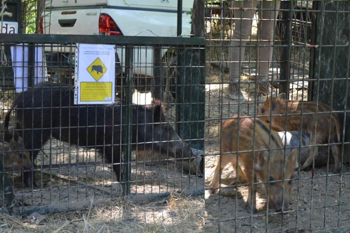 Las jaulas situadas en la Casa de Campo han atrapado a 31 jabalíes; adultos y rayones, que son trasladados a un centro de cuarentena